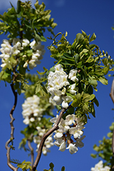 Twisted Baby® Black Locust (Robinia pseudoacacia 'Lace Lady') at Oakland Nurseries Inc