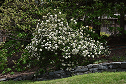 Conoy Viburnum (Viburnum 'Conoy') at Oakland Nurseries Inc