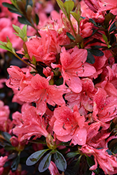 Fashion Azalea (Rhododendron 'Fashion') at Oakland Nurseries Inc