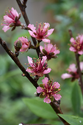 Red Gold Nectarine (Prunus persica 'Red Gold') at Oakland Nurseries Inc