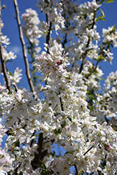Sugar Tyme Flowering Crab (Malus 'Sugar Tyme') at Oakland Nurseries Inc
