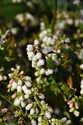 Blueberry Glaze® Blueberry (Vaccinium 'ZF08-095') at Oakland Nurseries Inc