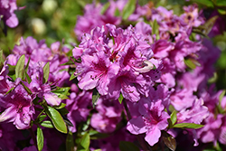 Herbert Azalea (Rhododendron 'Herbert') at Oakland Nurseries Inc