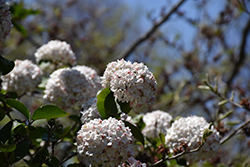 Fragrant Viburnum (Viburnum x carlcephalum) at Oakland Nurseries Inc