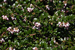 Bearberry (Arctostaphylos uva-ursi) at Oakland Nurseries Inc