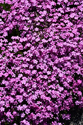 Emerald Pink Moss Phlox (Phlox subulata 'Emerald Pink') at Oakland Nurseries Inc