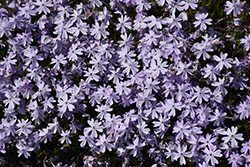 Emerald Blue Moss Phlox (Phlox subulata 'Emerald Blue') at Oakland Nurseries Inc