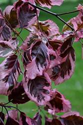 Tricolor Beech (Fagus sylvatica 'Roseomarginata') at Oakland Nurseries Inc