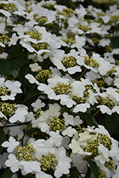 Doublefile Viburnum (Viburnum plicatum 'var. tomentosum') at Oakland Nurseries Inc