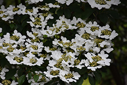 Summer Snowflake Doublefile Viburnum (Viburnum plicatum 'Summer Snowflake') at Oakland Nurseries Inc