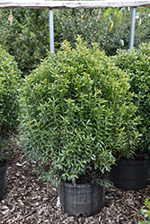 Compact Inkberry Holly (Ilex glabra 'Compacta') at Oakland Nurseries Inc