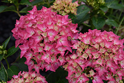 Pink Elf Dwarf Hydrangea (Hydrangea macrophylla 'Pink Elf') at Oakland Nurseries Inc