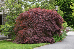 Tamukeyama Japanese Maple (Acer palmatum 'Tamukeyama') at Oakland Nurseries Inc