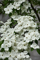 Celestial Flowering Dogwood (Cornus 'Rutdan') at Oakland Nurseries Inc