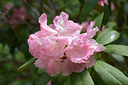 Yaku Princess Rhododendron (Rhododendron yakushimanum 'Yaku Princess') at Oakland Nurseries Inc