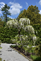 White Japanese Wisteria (Wisteria floribunda 'Alba') at Oakland Nurseries Inc