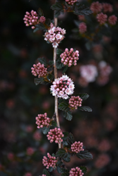 Little Devil™ Ninebark (Physocarpus opulifolius 'Donna May') at Oakland Nurseries Inc