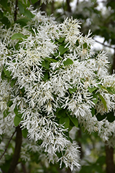 Chinese Fringetree (Chionanthus retusus) at Oakland Nurseries Inc