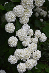 Japanese Snowball Viburnum (Viburnum plicatum) at Oakland Nurseries Inc