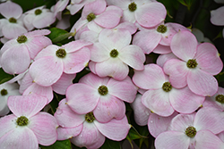 Stellar Pink Flowering Dogwood (Cornus 'Stellar Pink') at Oakland Nurseries Inc
