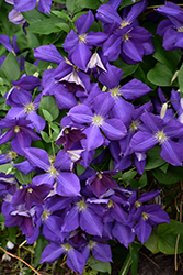 Jackmanii Clematis (Clematis x jackmanii) at Oakland Nurseries Inc