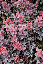 Concorde Japanese Barberry (Berberis thunbergii 'Concorde') at Oakland Nurseries Inc