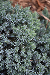 Blue Star Juniper (Juniperus squamata 'Blue Star') at Oakland Nurseries Inc
