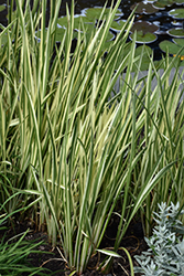 Variegated Sweet Flag (Acorus calamus 'Variegatus') at Oakland Nurseries Inc