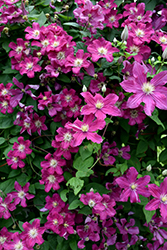 Barbara Harrington Clematis (Clematis 'Barbara Harrington') at Oakland Nurseries Inc