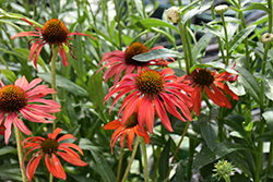Tomato Soup Coneflower (Echinacea 'Tomato Soup') at Oakland Nurseries Inc