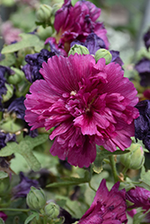 Queeny Purple Hollyhock (Alcea rosea 'Queeny Purple') at Oakland Nurseries Inc