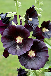 Black Hollyhock (Alcea rosea 'Nigra') at Oakland Nurseries Inc