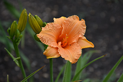 Bertie Ferris Daylily (Hemerocallis 'Bertie Ferris') at Oakland Nurseries Inc