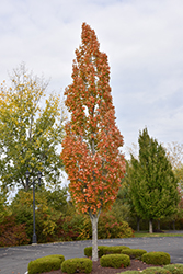 Armstrong Maple (Acer x freemanii 'Armstrong') at Oakland Nurseries Inc