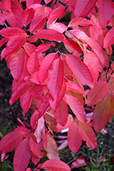 Sourwood (Oxydendron arboreum) at Oakland Nurseries Inc