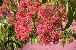 Seven-Son Flower (Heptacodium miconioides) at Oakland Nurseries Inc