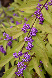 Early Amethyst Beautyberry (Callicarpa dichotoma 'Early Amethyst') at Oakland Nurseries Inc
