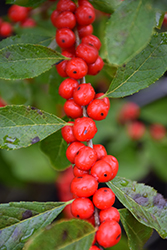 Red Sprite Winterberry (Ilex verticillata 'Red Sprite') at Oakland Nurseries Inc