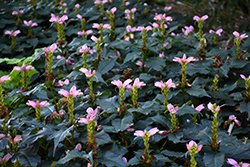 Hot Lips Turtlehead (Chelone lyonii 'Hot Lips') at Oakland Nurseries Inc