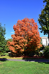 Bonfire Sugar Maple (Acer saccharum 'Bonfire') at Oakland Nurseries Inc