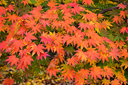 Japanese Maple (Acer palmatum) at Oakland Nurseries Inc