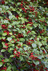American Holly (Ilex opaca) at Oakland Nurseries Inc