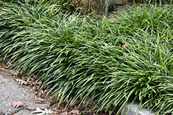 Big Blue Lily Turf (Liriope muscari 'Big Blue') at Oakland Nurseries Inc