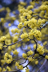 Cornelian Cherry Dogwood (Cornus mas) at Oakland Nurseries Inc