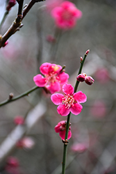 Japanese Apricot (Prunus mume) at Oakland Nurseries Inc
