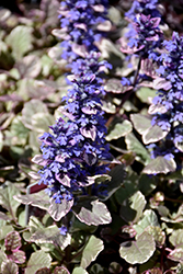 Burgundy Glow Bugleweed (Ajuga reptans 'Burgundy Glow') at Oakland Nurseries Inc