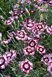 Raspberry Swirl Pinks (Dianthus 'Devon Siskin') at Oakland Nurseries Inc