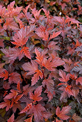 Coppertina® Ninebark (Physocarpus opulifolius 'Mindia') at Oakland Nurseries Inc