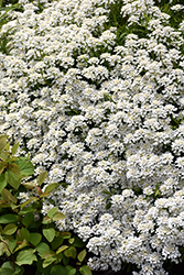 Candytuft (Iberis sempervirens) at Oakland Nurseries Inc