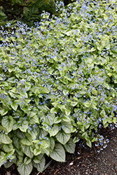Jack Frost Bugloss (Brunnera macrophylla 'Jack Frost') at Oakland Nurseries Inc